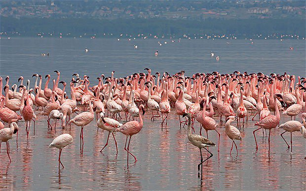 flamingoes_1882661b rift valley 1 4 giorni 3 notti safari 4 Giorni - Safari Masai Mara e Lago Nakuru flamingoes 1882661b rift valley 1