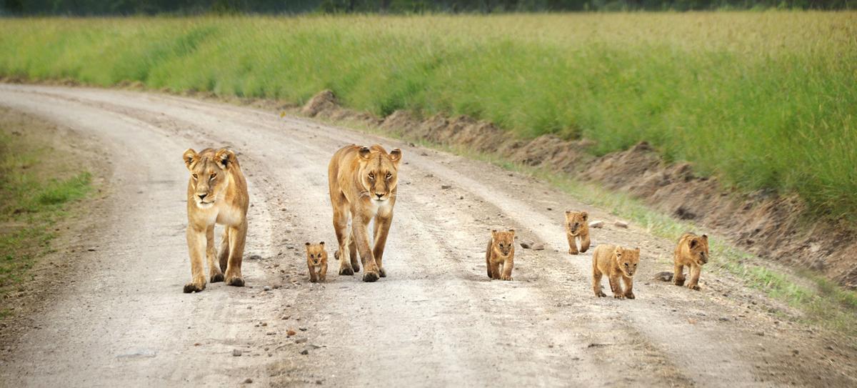 lion-family-masai-mara1--2222