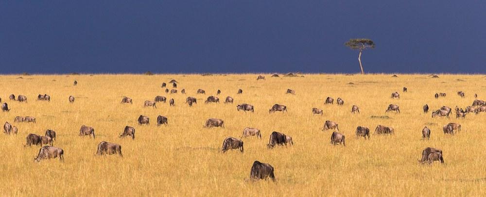 Masai-Mara-Migration- 1