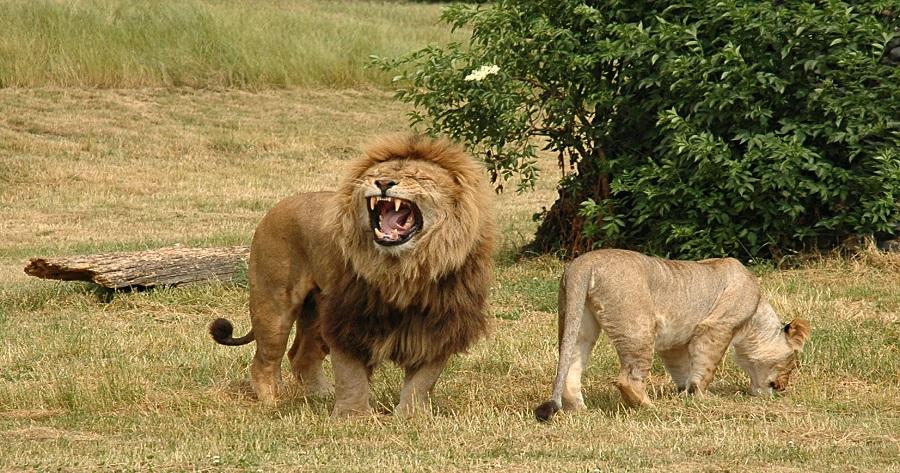 big-lions-images 2 giorni – safari tsavo ovest e tsavo est 2 Giorni - Safari Tsavo Ovest e Tsavo Est big lions images