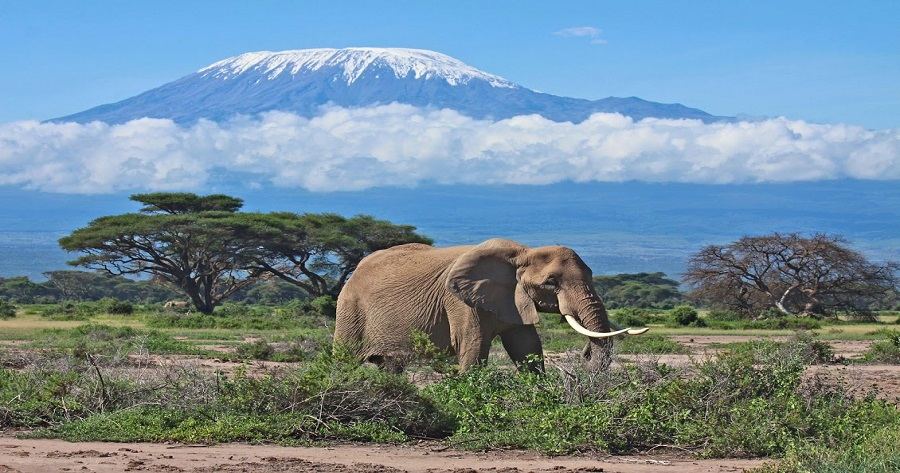 Elephant matriarch in front of Mount Kilimanjaro, Kenya