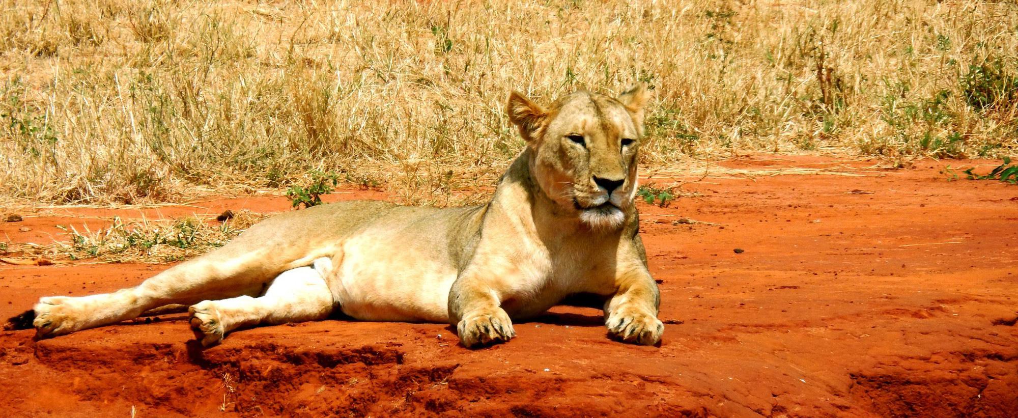 Kenya-humanitarian-trip-2-safari-lioness-globecandy-e1448807796779_ORIZ