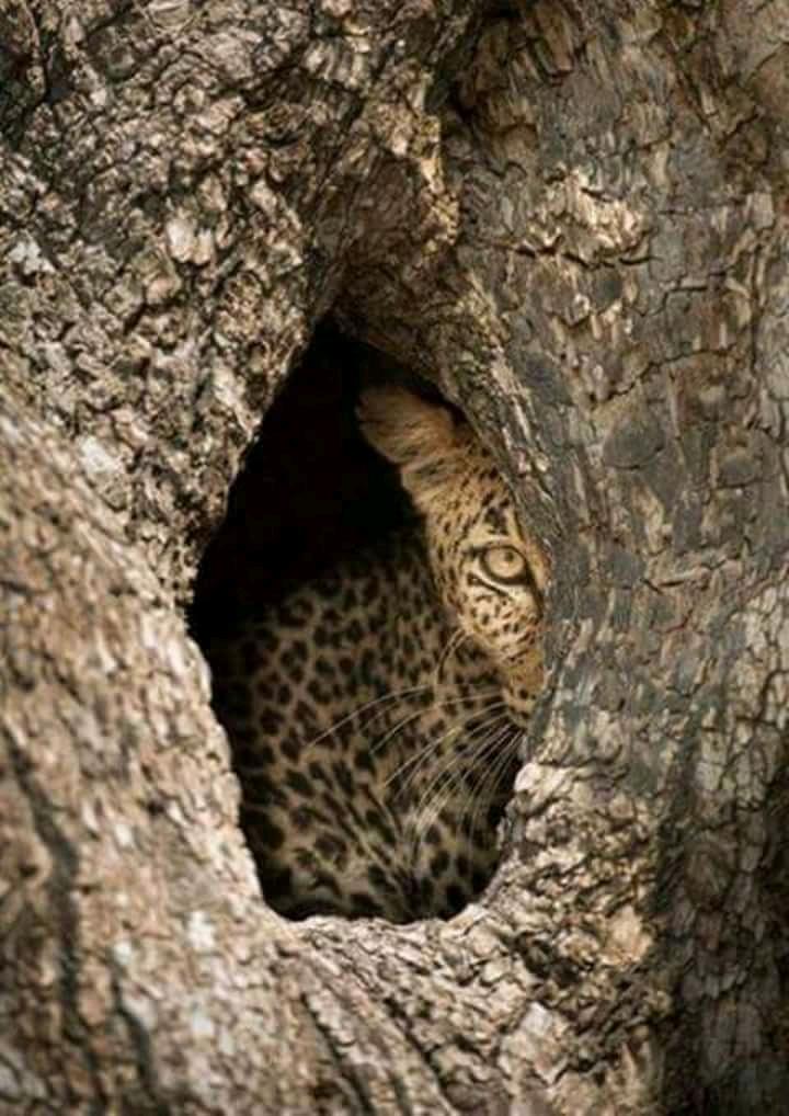 4 giorni safari 4 Giorni - Safari Riserva Ngutuni, Tsavo Ovest, Amboseli e Tsavo Est cheetah2