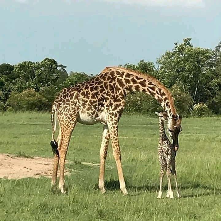3 giorni safari, masai mara in aereo da malindi 3 Giorni - Safari Masai Mara in aereo da Malindi giraffee