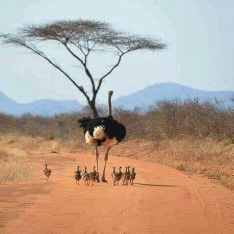 4 giorni safari 4 Giorni - Safari Riserva Ngutuni, Tsavo Ovest, Amboseli e Tsavo Est ostrich